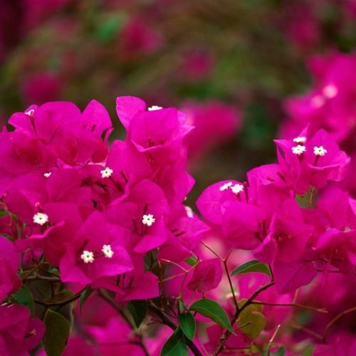 Бугенвиллия комнатное растение советы по уходу и описание полив, цветение, размнодение и сорта