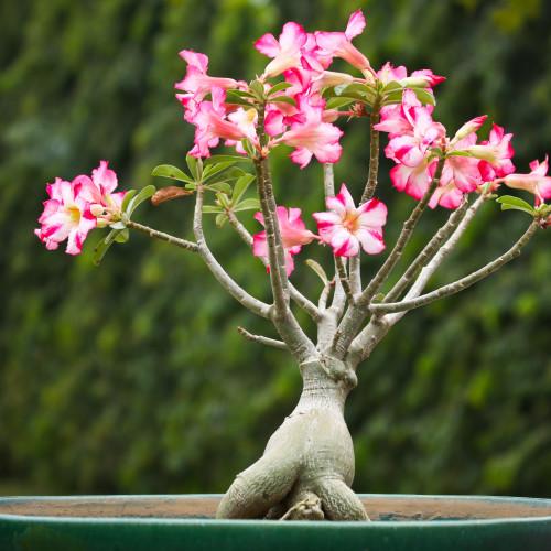 Адениум комнатное растение, советы по уходу и описание, виды и сорта