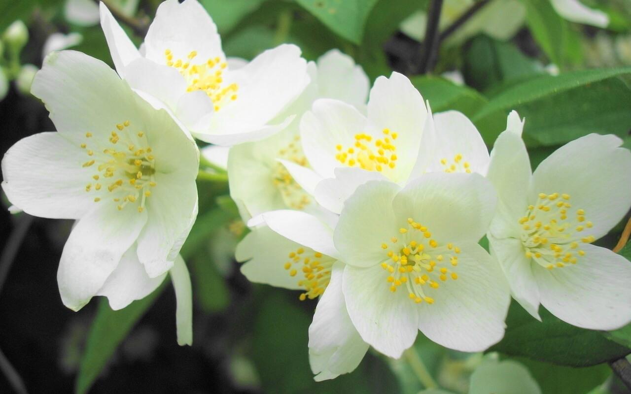 Картинка Жасмин цветы » Разные цветы » Цветы » Картинки 24 ...