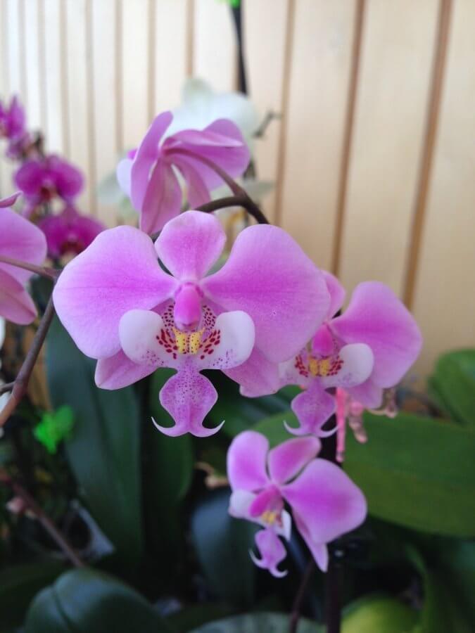 орхидея сорта фаленопсис