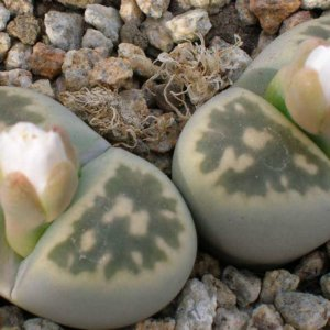 Литопс сорт Lithops bella