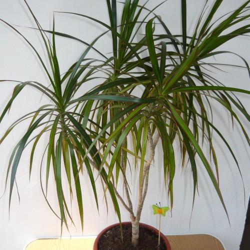 Драцена комнатрное растение, советы по уходу и описание