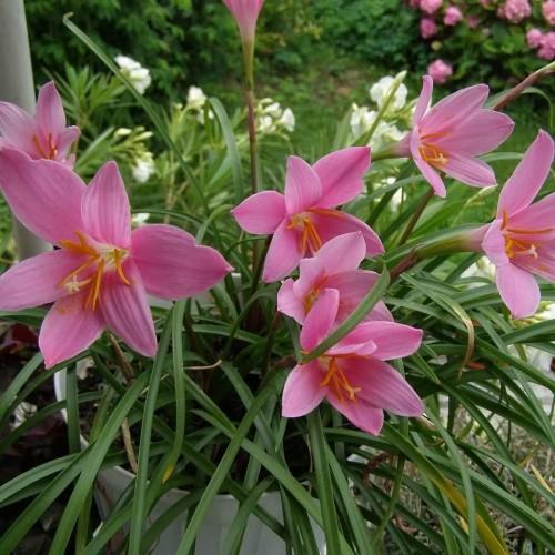Зефирантес комнатрное растение, советы по уходу и описание