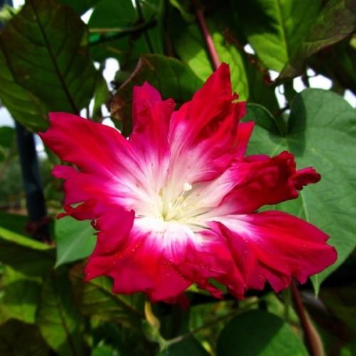 Ипомея утренний цветок красная