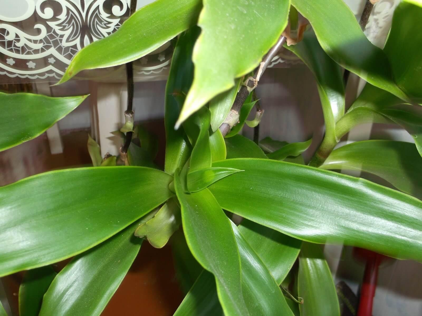Золотой ус растение и уход за ними