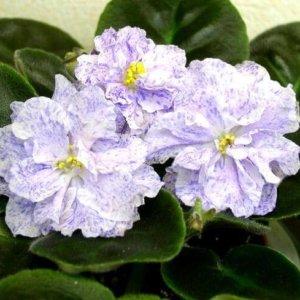 Фиалка сорт морская принцесса Огромные, махровые воздушные белые цветы со светло-розовыми отпечатками, испещренными светло-синим фэнтази. Темно-зеленая, глянцевая листва.