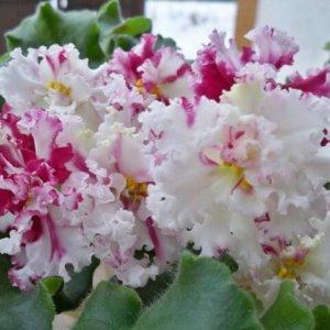 ЛЕ-Взбитые Сливки Крупные кружевные белые махровые цветы с тонкой розово-малиновой гофрированной каемочкой по краям лепестков.светлая аккуратная розетка из слегка волнистых листочков