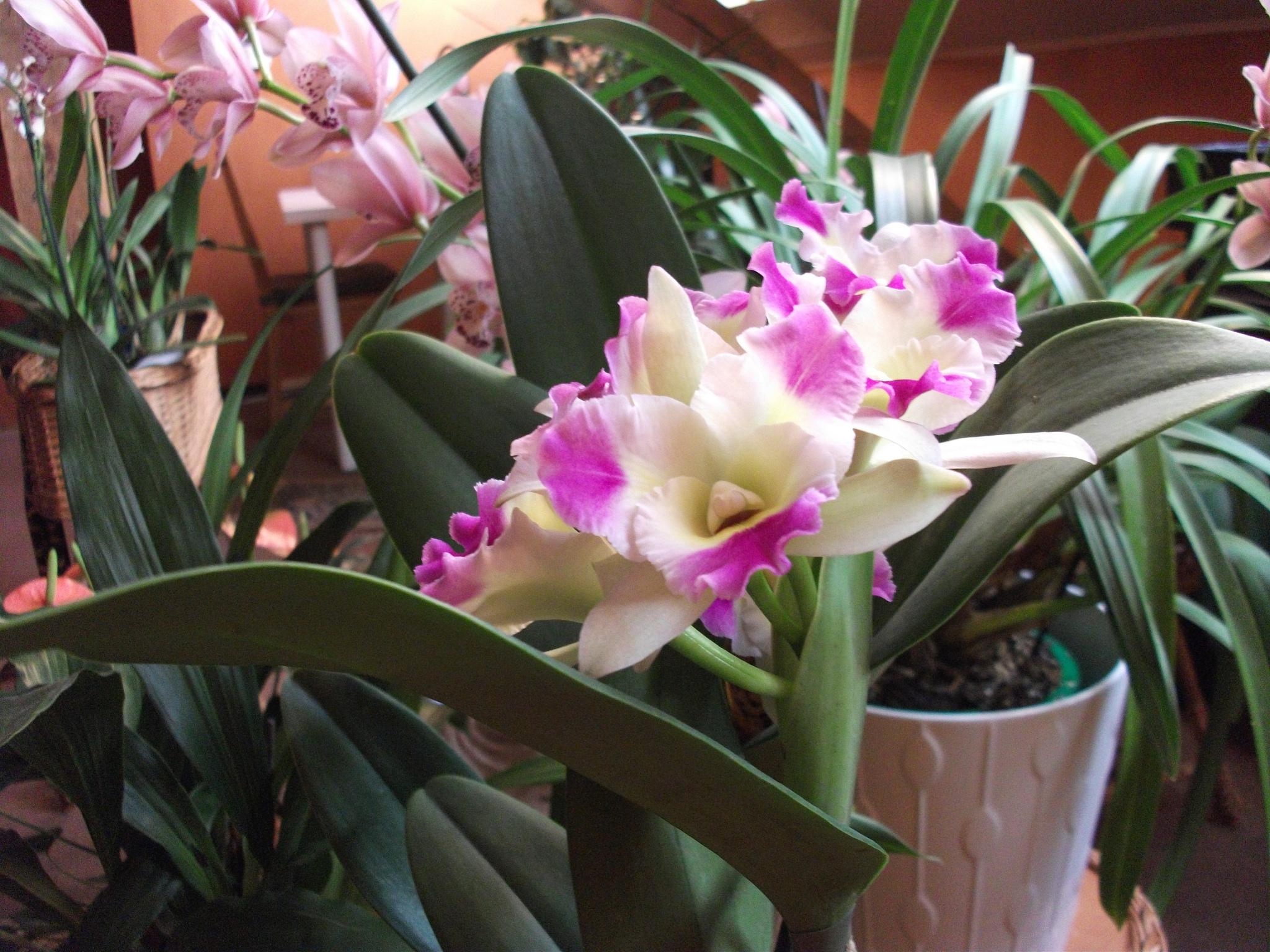 Орхидея фаленопсис своими руками фото