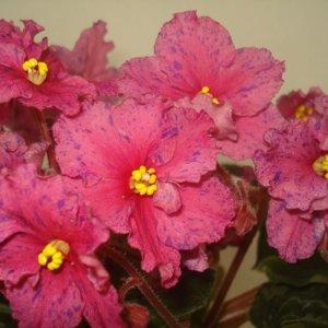 Ethel`s Wild Side Крупные простые кораллово-красные, очень яркие звезды с синим фантазии. Обильное цветение. Кроновая пестролистность.
