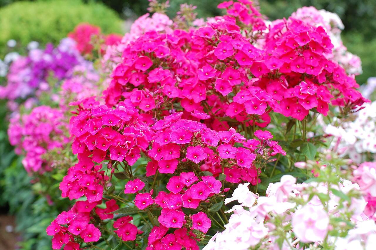 Цветы флоксы 43