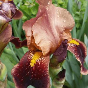 Ирис цветок коричневый с желтой серединой