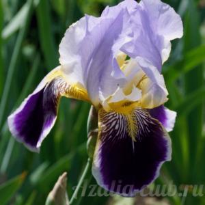 Ирис цветок двухцветный фиолетовый с сиреневым