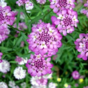 Иберис гибралтарский розового цвета