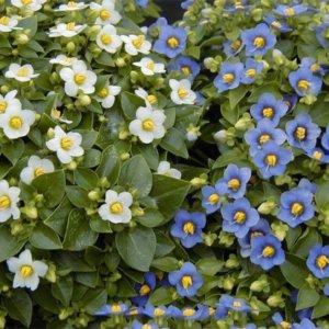 Экзакум с белыми и голубыми цветами