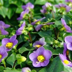 Экзакум фиолетовый