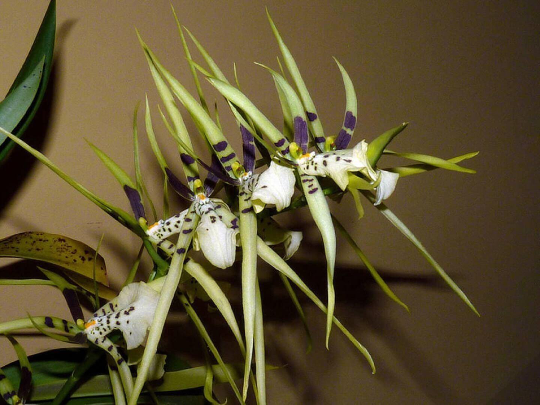 Брассия уход в домашних условиях фото орхидея